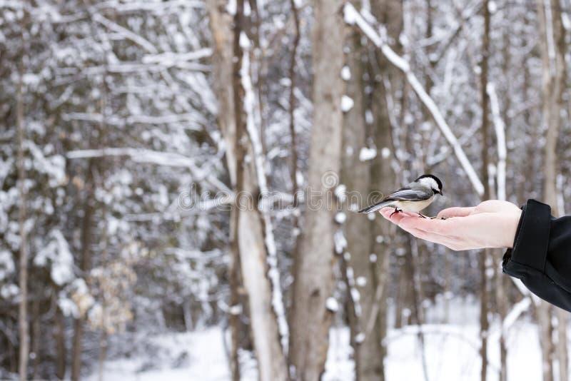 Zwart-afgedekte Chickadee die van een mens worden gevoed dient het hout op een de winterdag in stock foto's