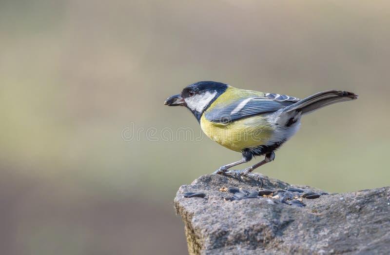 Zwart-afgedekte chickadee Roemenië royalty-vrije stock afbeelding