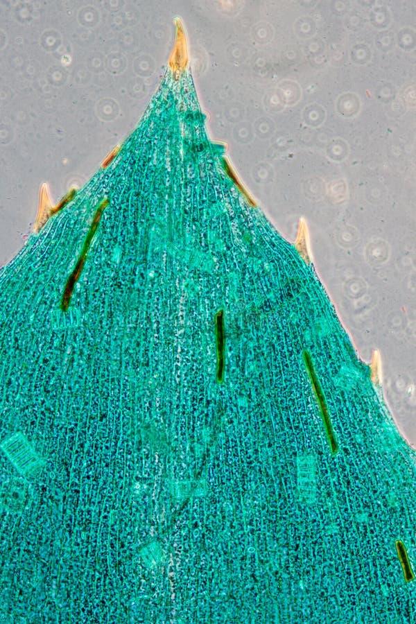 zwart algenblad royalty-vrije stock afbeelding