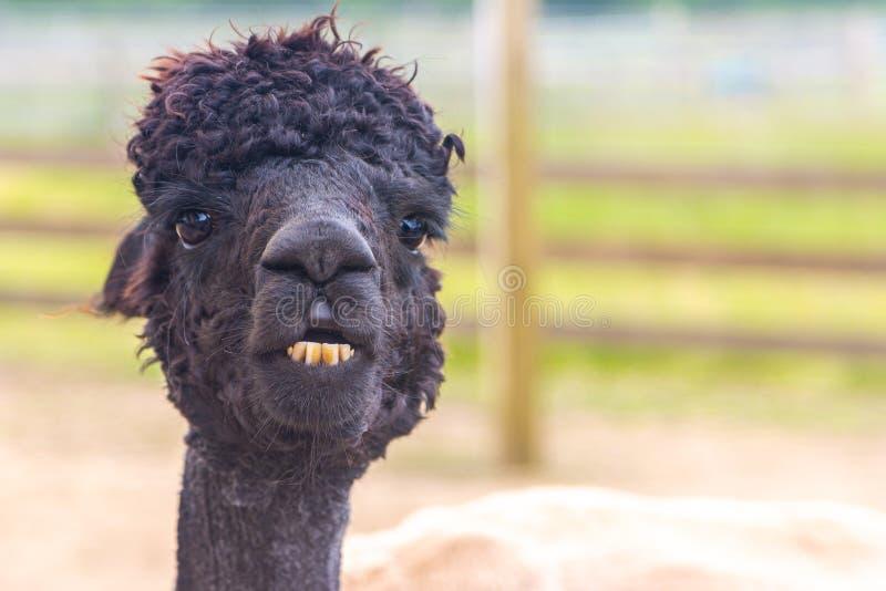 Zwart alpaca hoofdportret met boktanden stock foto's