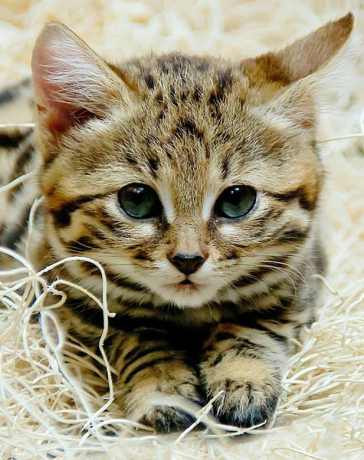 Zwart Betaald Babykatje stock foto