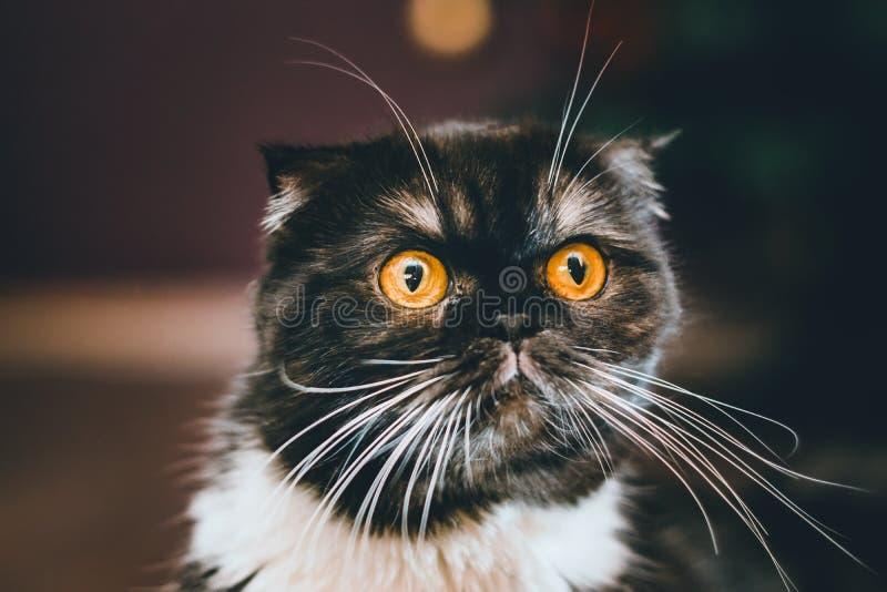 Zwart Brits kattenportret stock afbeelding