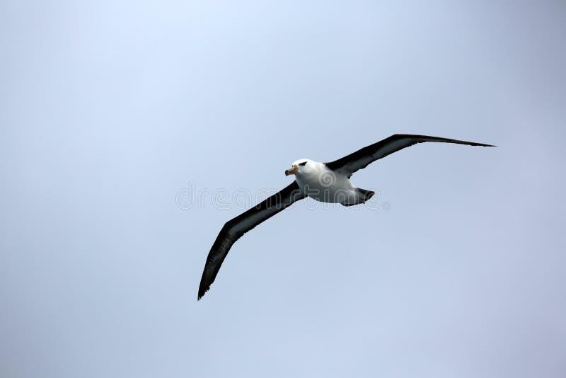 Zwart-browed albatros royalty-vrije stock afbeelding