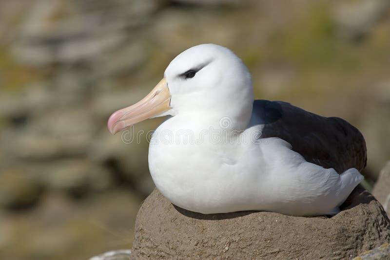 Zwart-browed albatros (melanophris Diomedea) royalty-vrije stock foto's