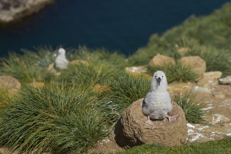 Zwart-browed Albatroskuiken op West Point-Eiland royalty-vrije stock foto