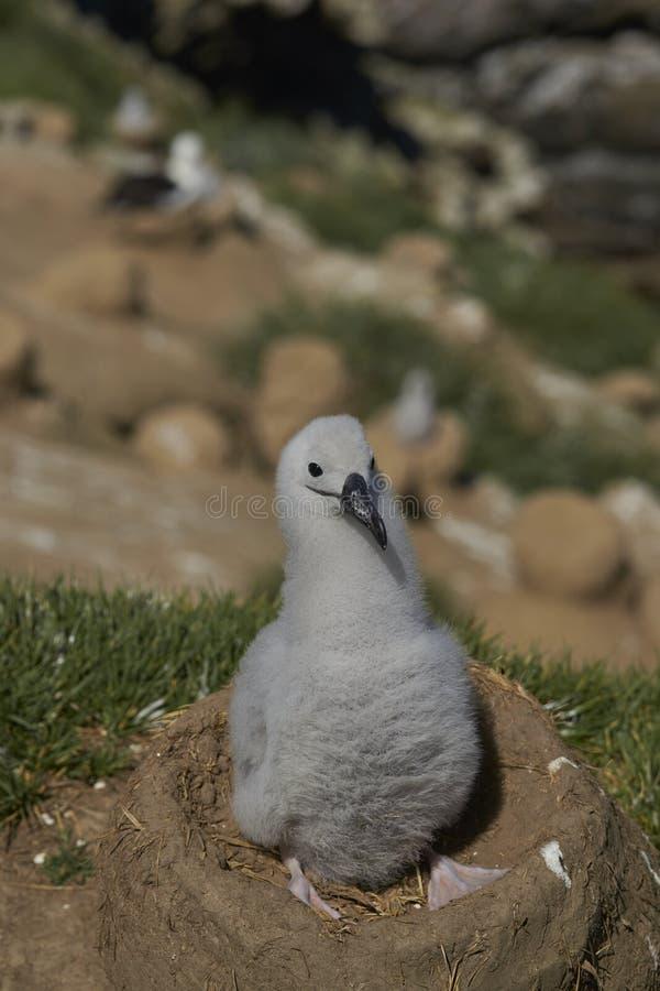 Zwart-browed Albatroskuiken op West Point-Eiland stock afbeeldingen