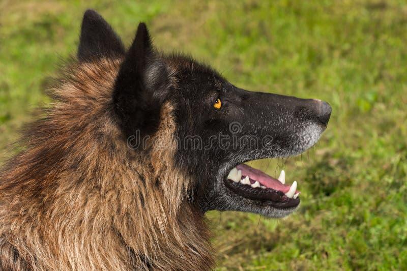 Zwart de wolfszweerprofiel van Fasegrey wolf canis royalty-vrije stock afbeeldingen