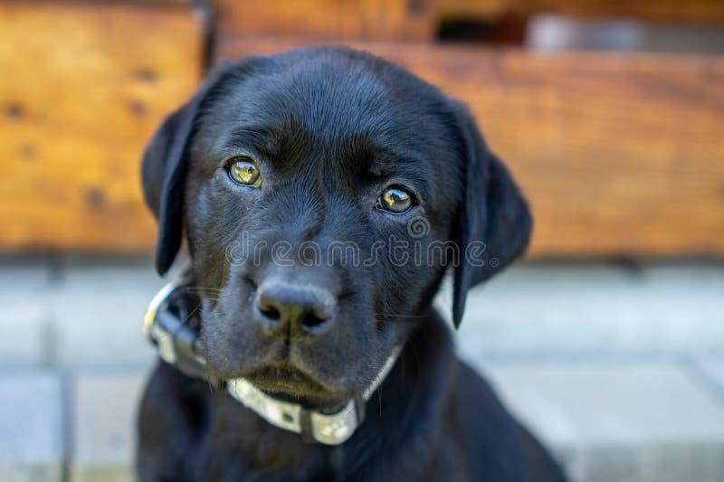 Zwart dicht omhooggaand labrador retriever-puppygezicht stock afbeelding
