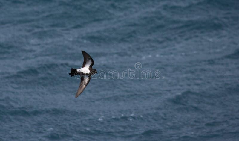 Zwart-doen zwellen onweer-Stormvogel, Fregetta-tropicatropica stock foto