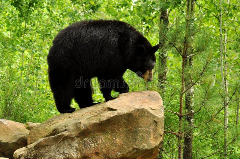 Zwart draag bevindend op een rots. stock afbeelding