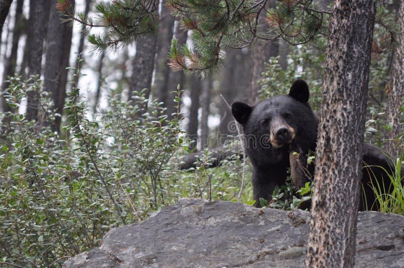 Zwart draag Canadees Rocky Mountains stock foto's