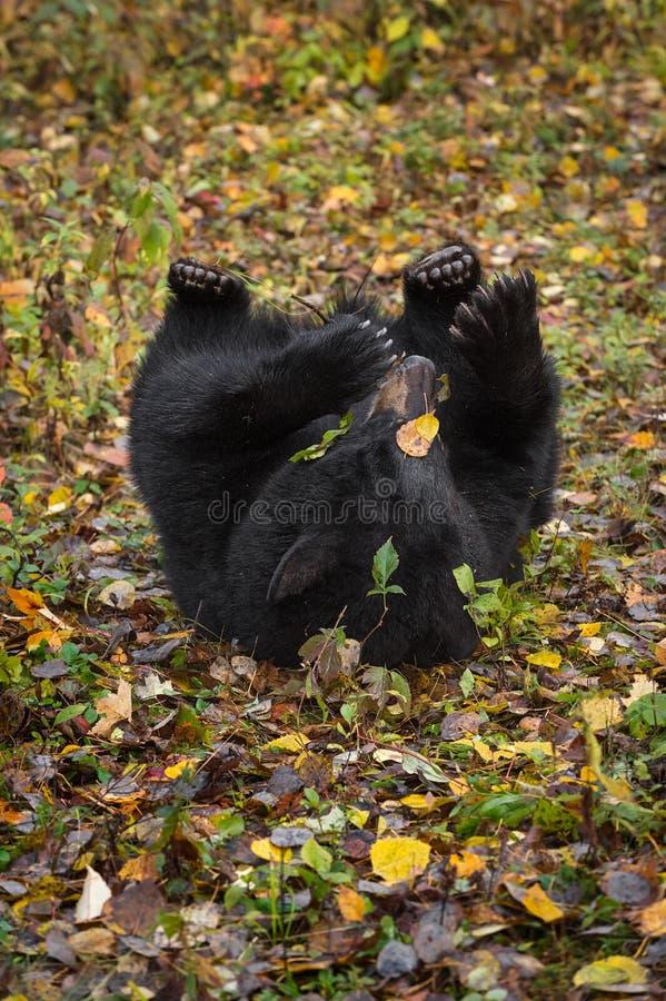 Zwart draag de americanus Broodjes van Ursus in Autumn Leaves stock foto
