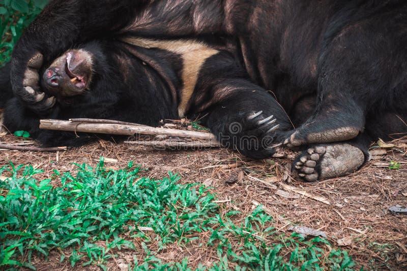 Zwart draag of de buffels dragen slaap stock afbeeldingen