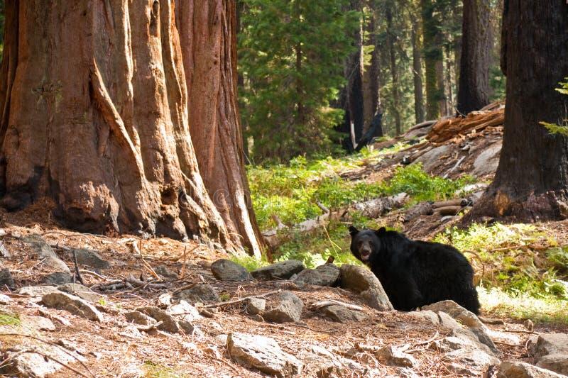 Zwart draag in het Bos van de Californische sequoia royalty-vrije stock afbeelding