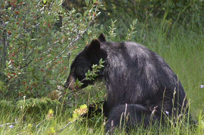 Zwart draag het Eten de Bessen van Buffels stock foto's