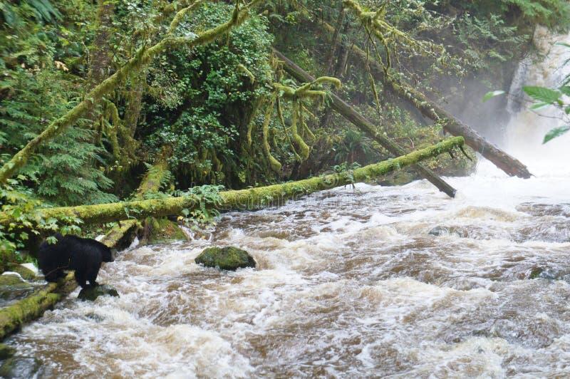 Zwart draag vissend voor zalm dichtbij een waterval in Brits Colombia royalty-vrije stock afbeeldingen