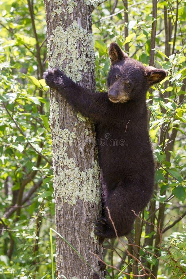 Zwart draag welp in boom stock afbeeldingen