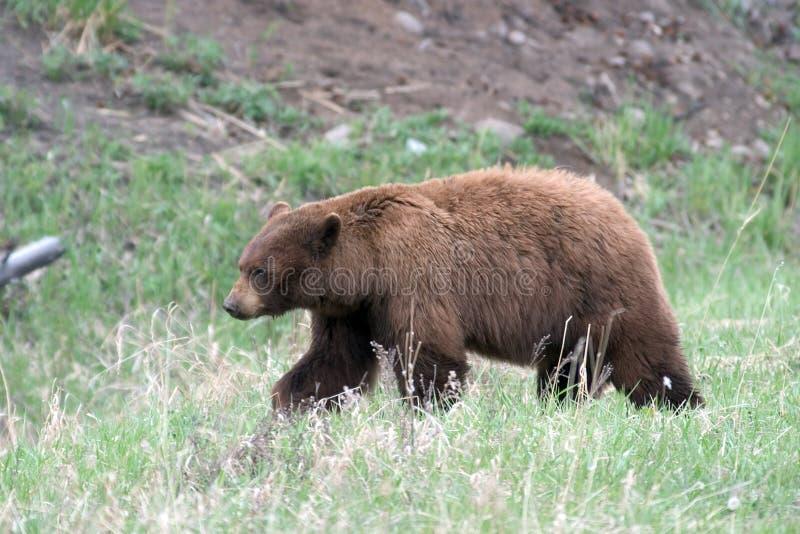 Zwart draag in Yellowstone NP stock afbeelding