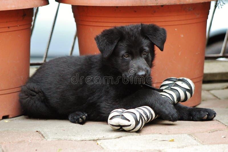 Zwart Duits herderspuppy royalty-vrije stock foto