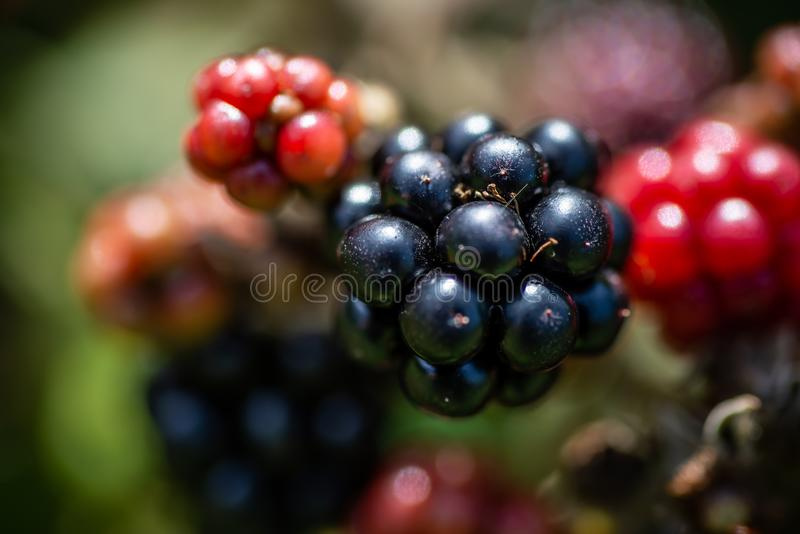 Zwart Forest Berries Closeup stock afbeeldingen