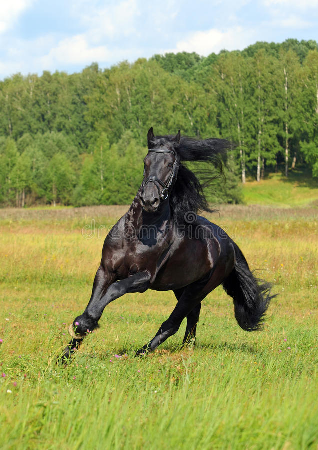 Zwart friesian paard in de zomerweide royalty-vrije stock afbeelding