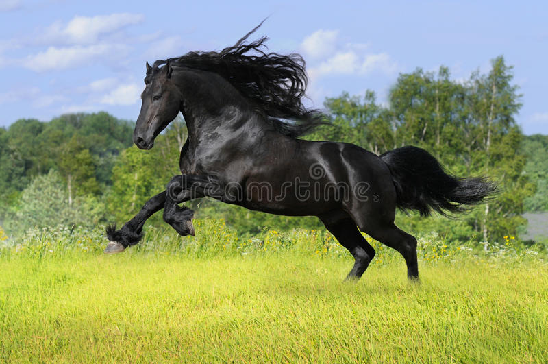 Zwart friesian paard op de weide stock foto's