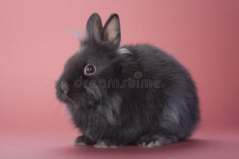 Zwart geïsoleerd konijntje stock foto's