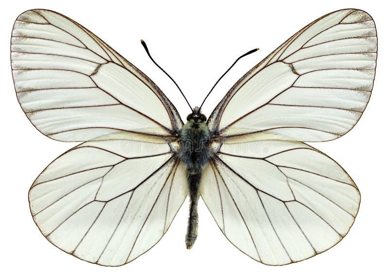 Geïsoleerdet zwart-Geaderde Witte vlinder royalty-vrije illustratie