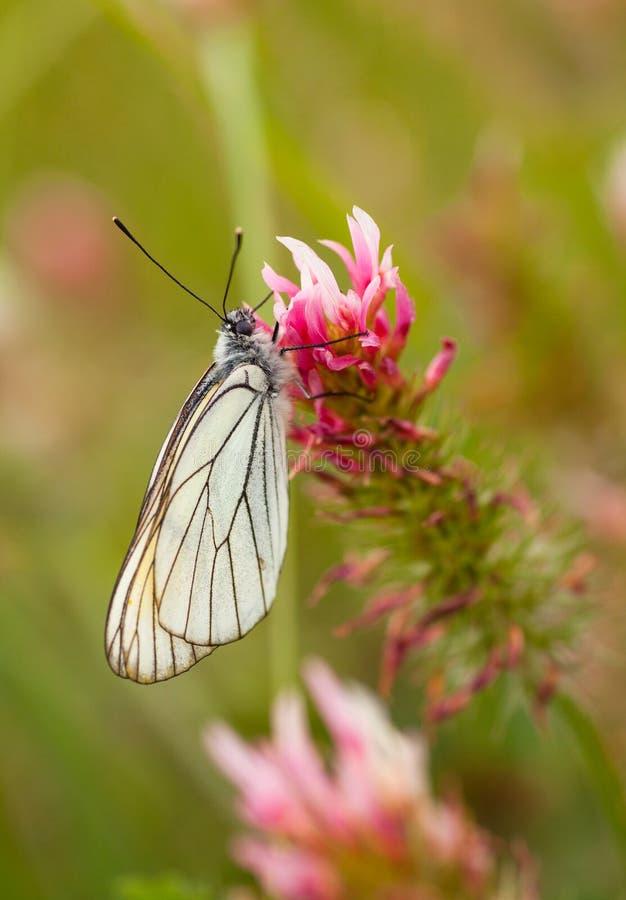 Zwart-geaderde Witte vlinder op Klaverbloem stock afbeeldingen