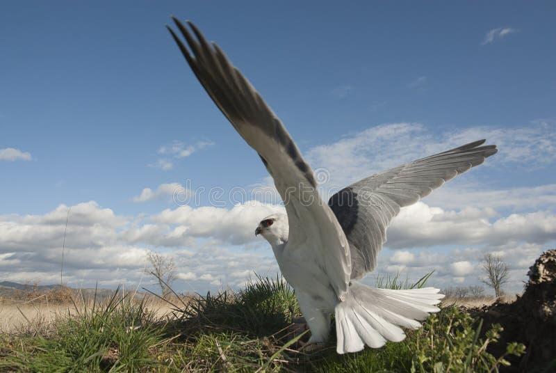 Zwart-gesteunde caeruleus van vliegerelanus, met open vleugels royalty-vrije stock afbeeldingen