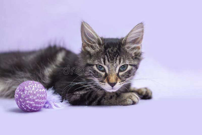 Zwart gestreepte katkatje van het Eiland Man met kattenstuk speelgoed purpere achtergrond royalty-vrije stock foto's
