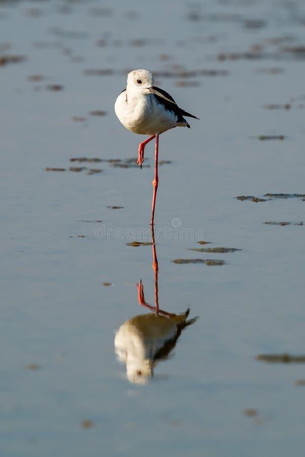Zwart-gevleugelde Stelt die zich met één been op het kust intertidal gebied bevinden royalty-vrije stock fotografie