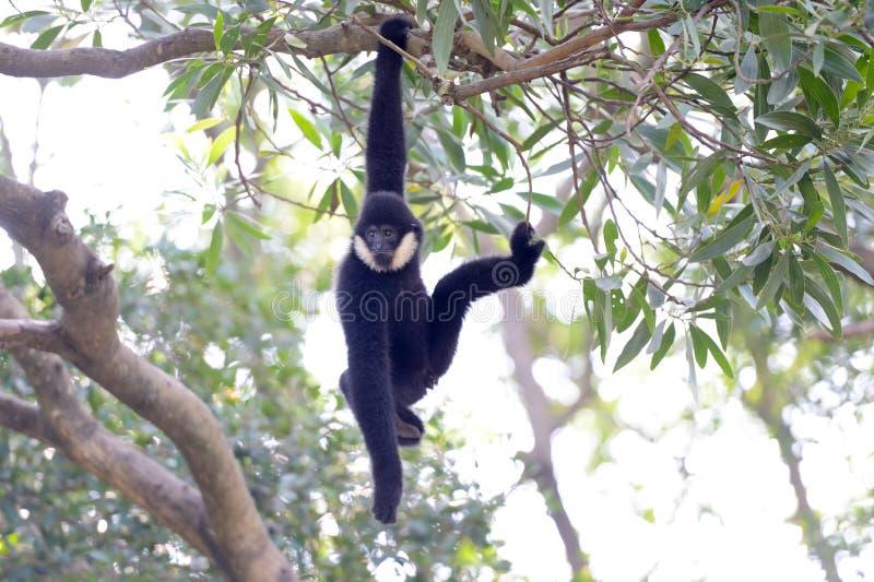 Zwart Gibbon-spel op de boomtakken stock afbeelding
