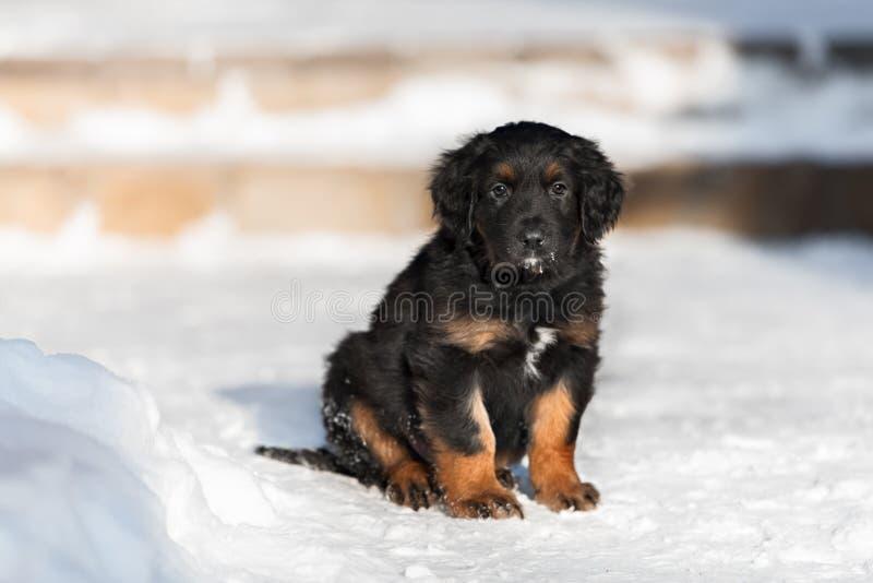 Zwart hovawartpuppy op de sneeuw stock afbeelding