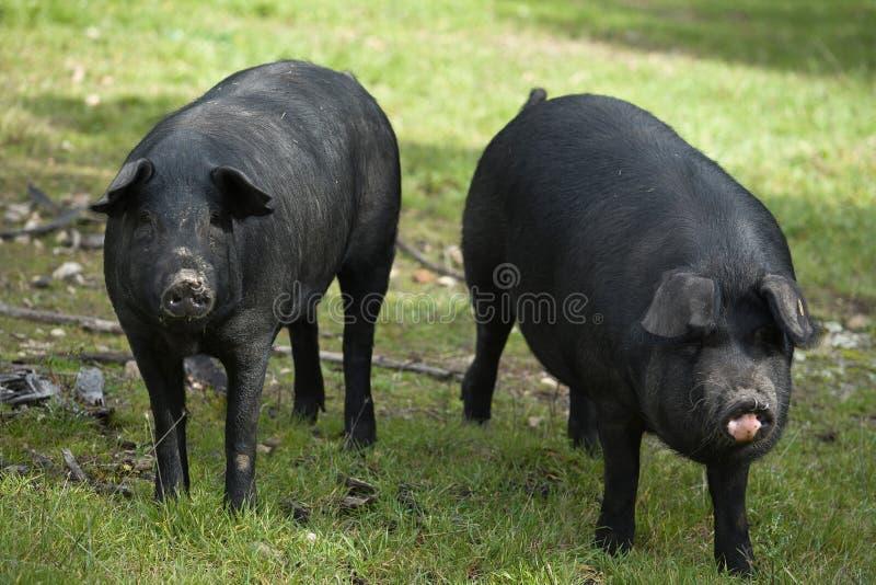 Zwart Iberisch Varken 2 stock fotografie