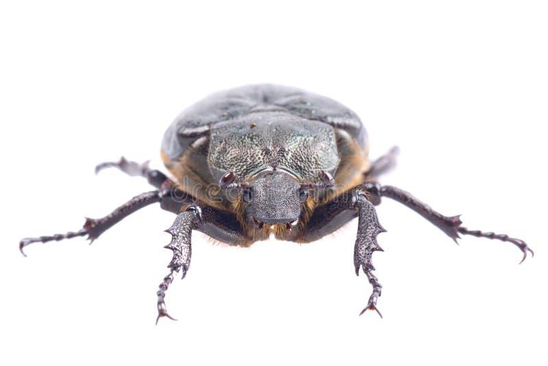 Zwart insect met gele punten op een witte achtergrond stock fotografie