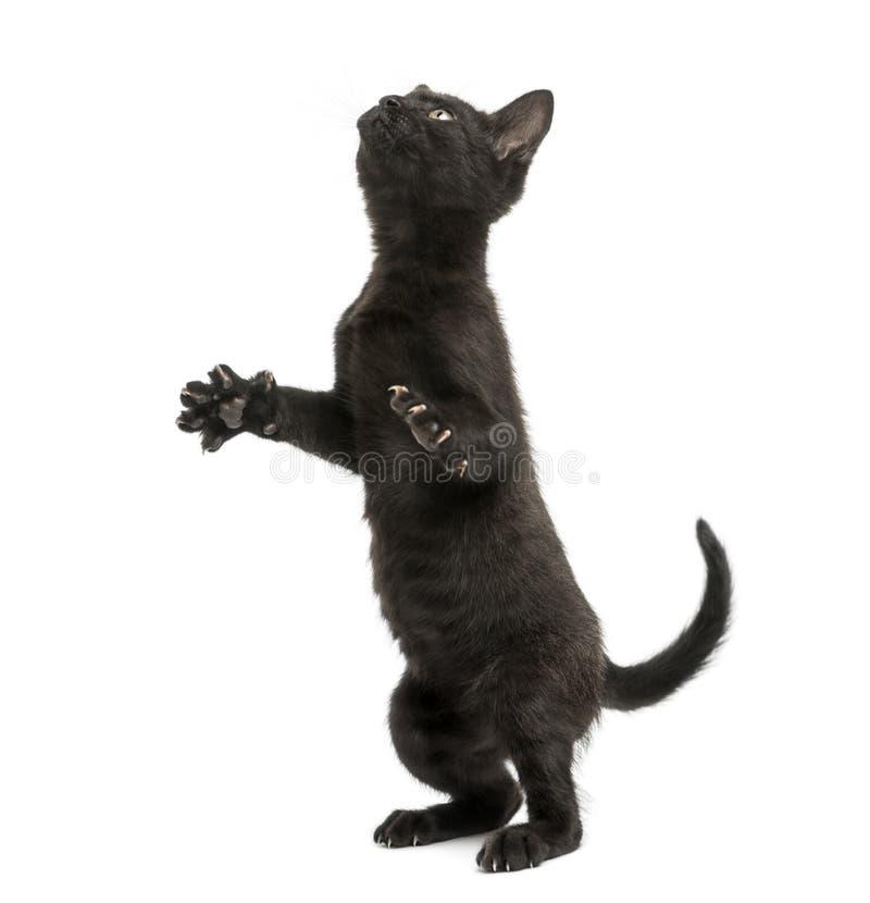 Zwart katje die zich op achterste benen, het spelen bevinden, die omhoog eruit zien stock foto's