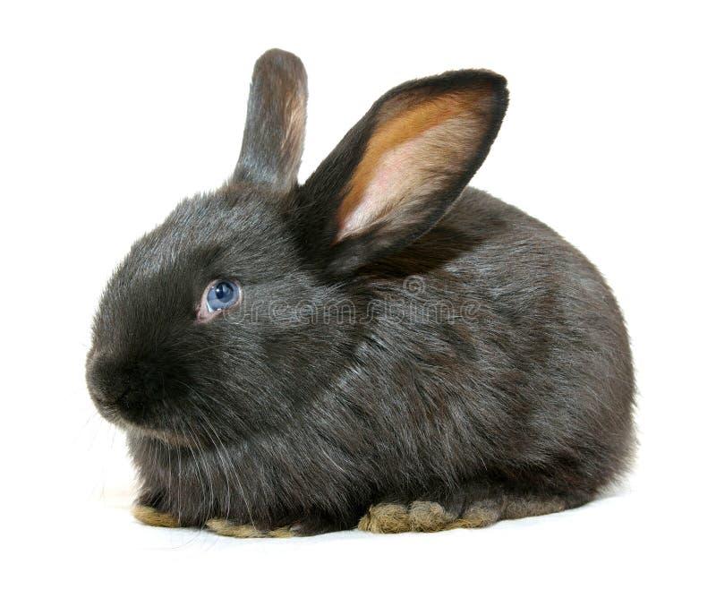 Download Zwart konijn stock foto. Afbeelding bestaande uit fleecy - 10777100