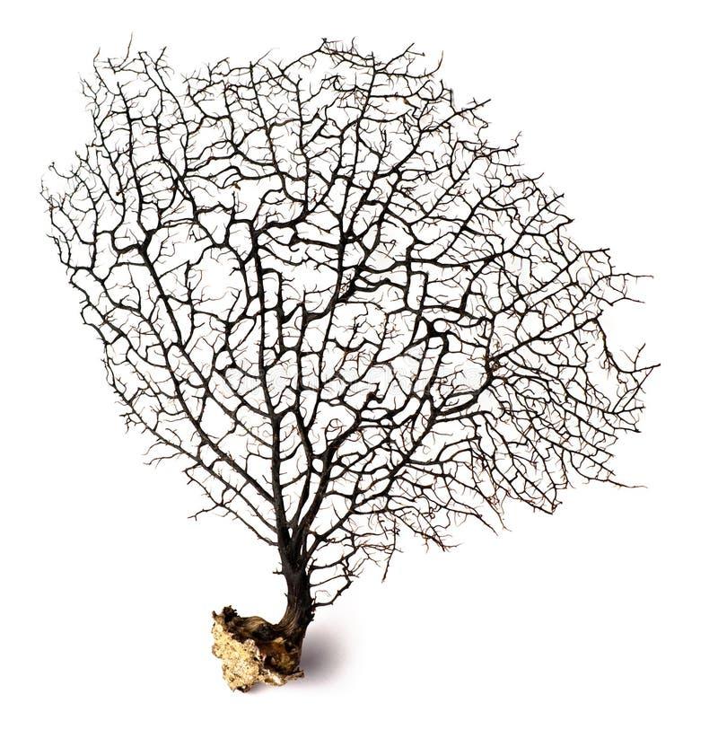 Zwart koraal royalty-vrije stock afbeelding