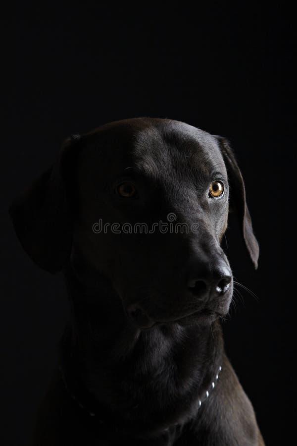 Zwart Labrador stock foto