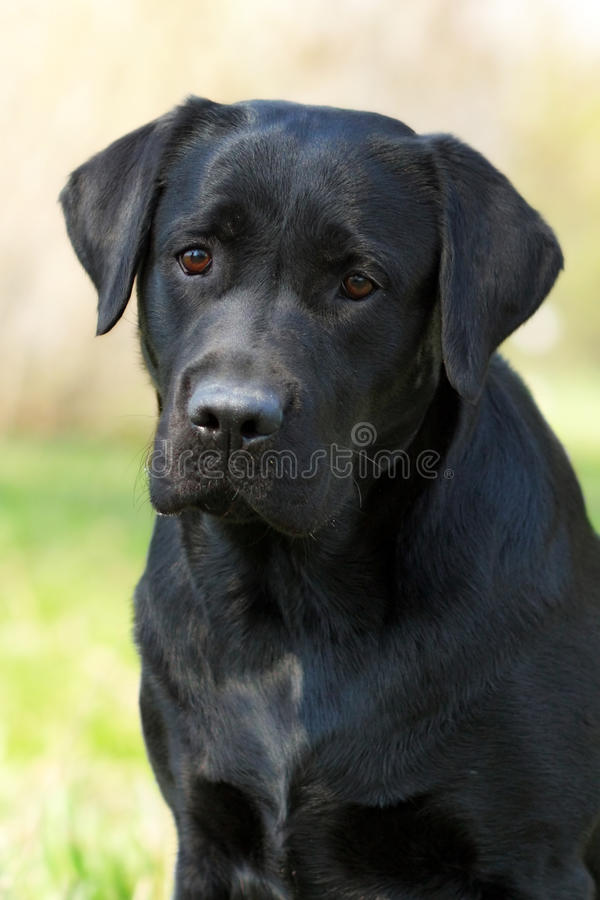 Zwart Labrador stock fotografie