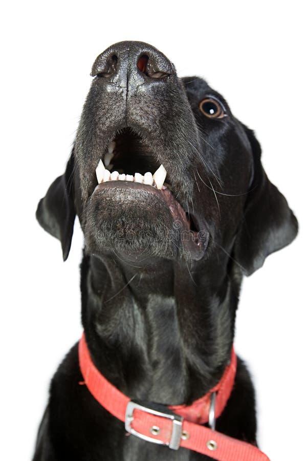 Zwart Labrador dat omhoog eruit ziet stock fotografie