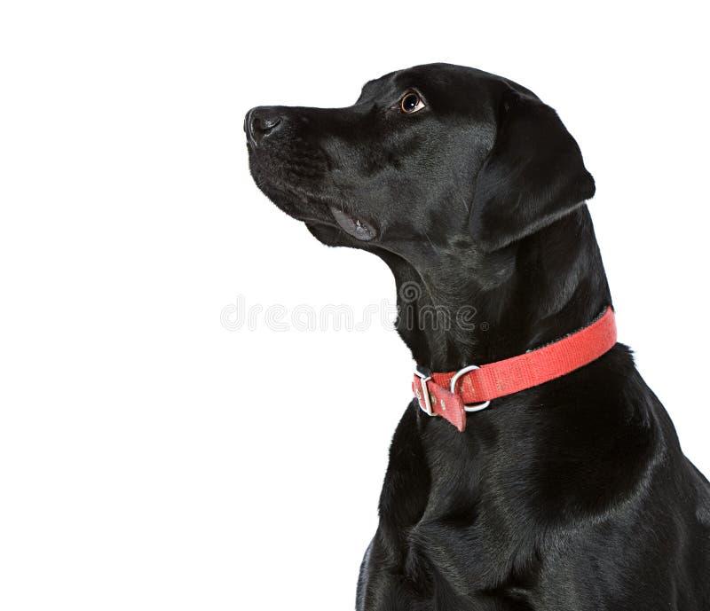 Zwart Labrador dat van Camera kijkt stock afbeelding