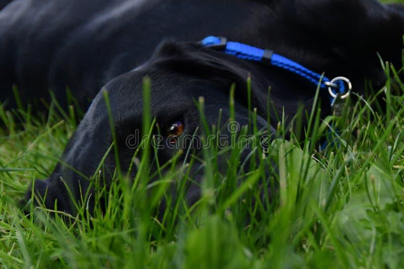 Zwart Labrador die in het gras leggen stock foto