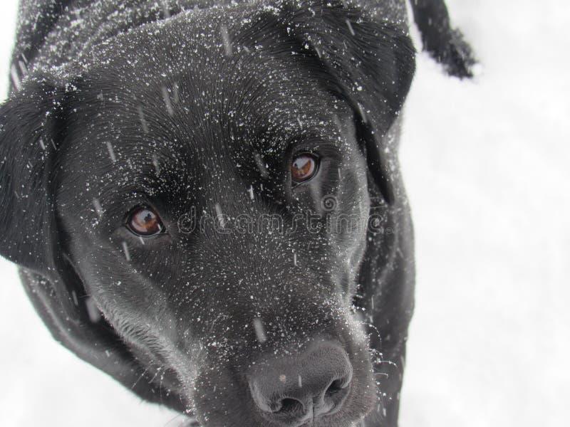 Zwart Labrador in Sneeuw stock foto's