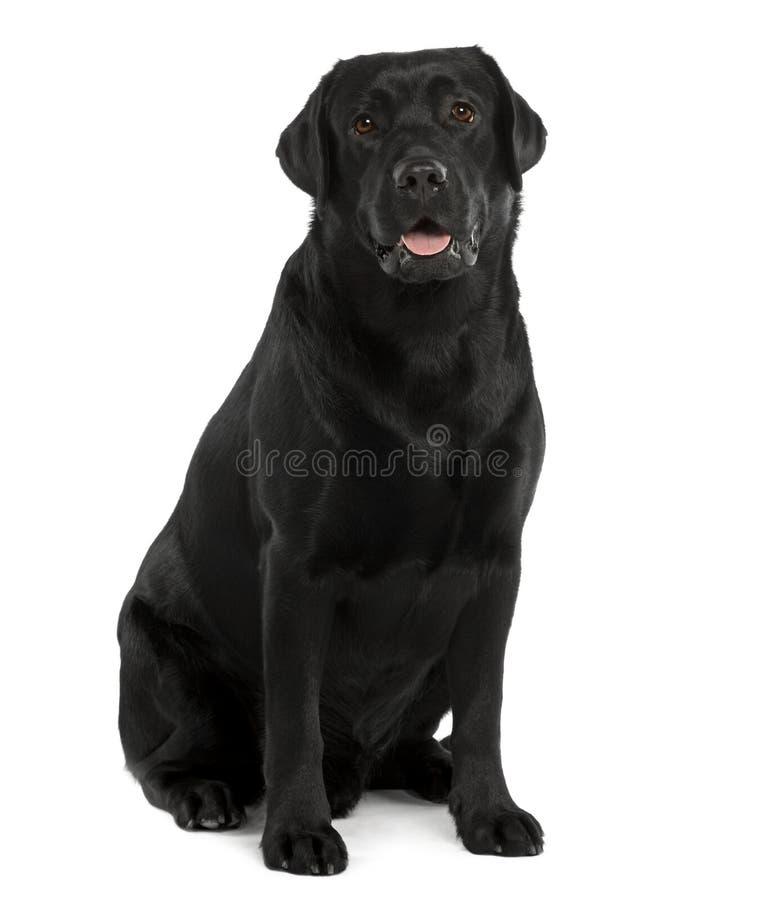 Zwart Labrador, zitting en het hijgen royalty-vrije stock fotografie
