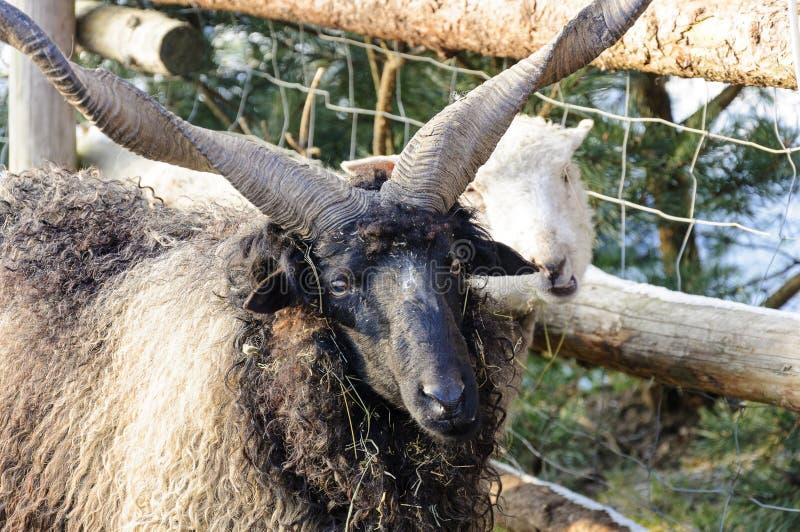 Zwart lam met hoornen en witte schapen - het fokkenlandbouwbedrijf royalty-vrije stock foto's