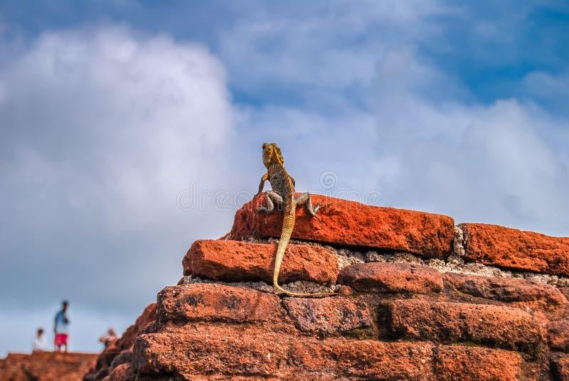 Zwart-lipped hagedis op de rode bakstenen muur Sigiriya Lion Rock Sri Lanka royalty-vrije stock afbeeldingen
