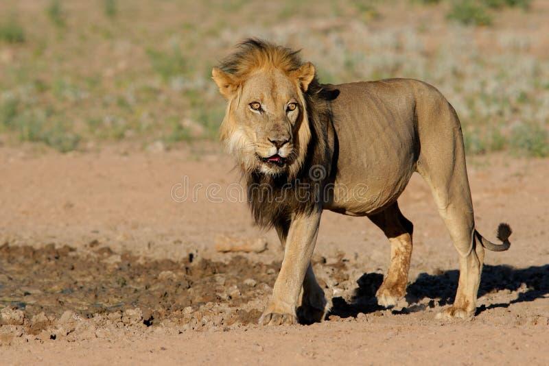 Zwart-maned Afrikaanse leeuw stock foto