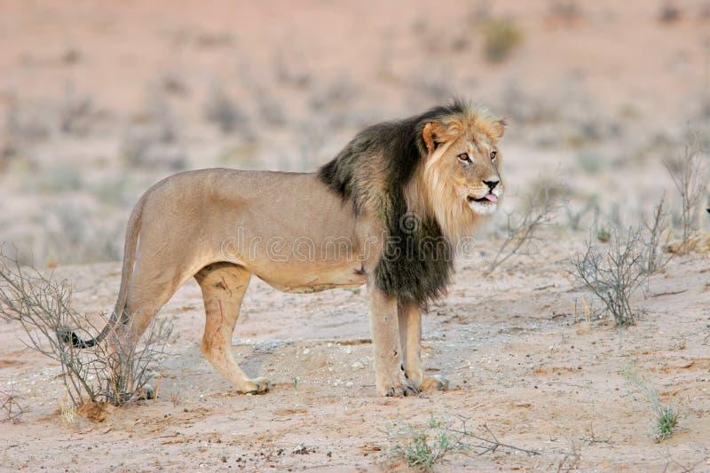 Zwart-maned leeuw stock foto's